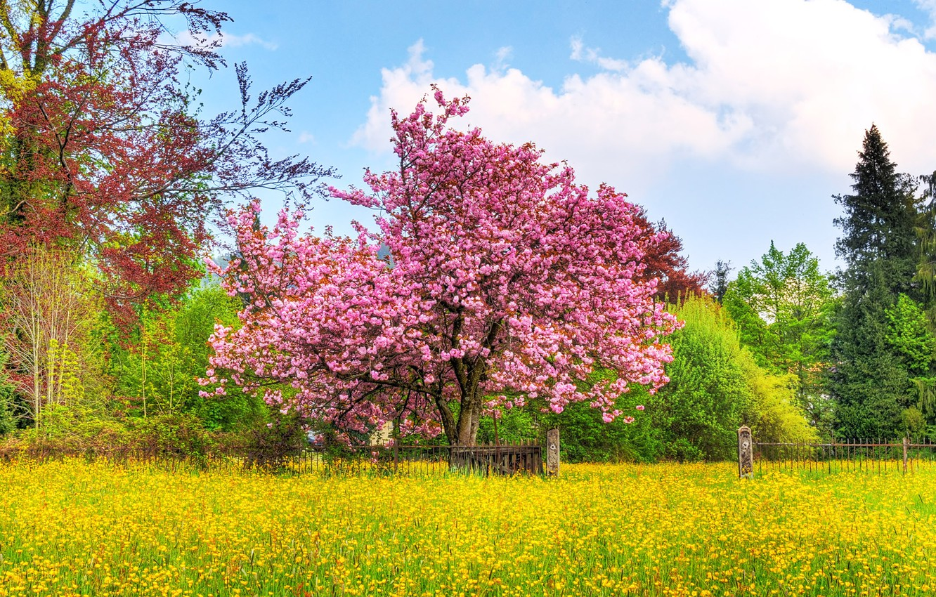 Photo wallpaper flowers, the fence, Cherry tree