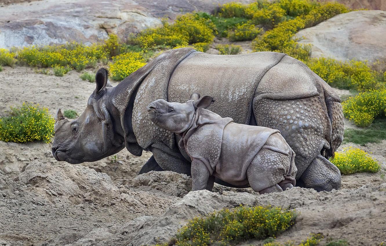 Photo wallpaper nature, background, rhinos