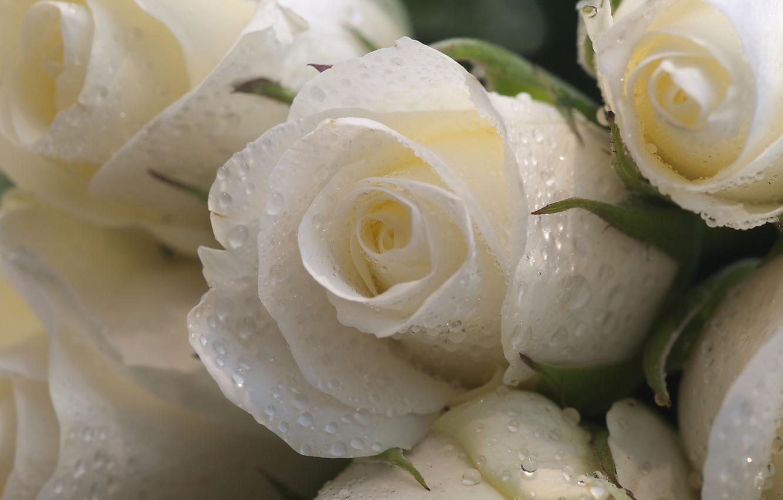 Photo wallpaper drops, macro, flowers, roses, white