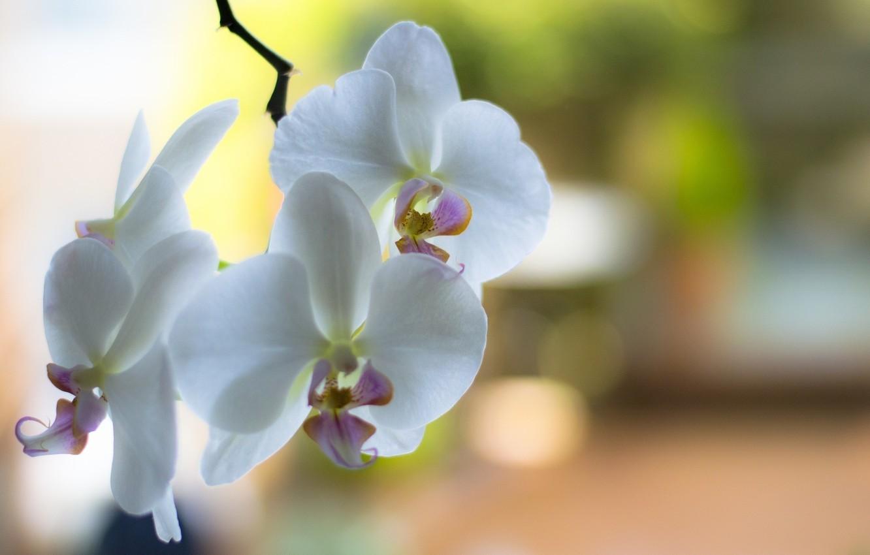 Photo wallpaper flowers, branch, petals, white, orchids