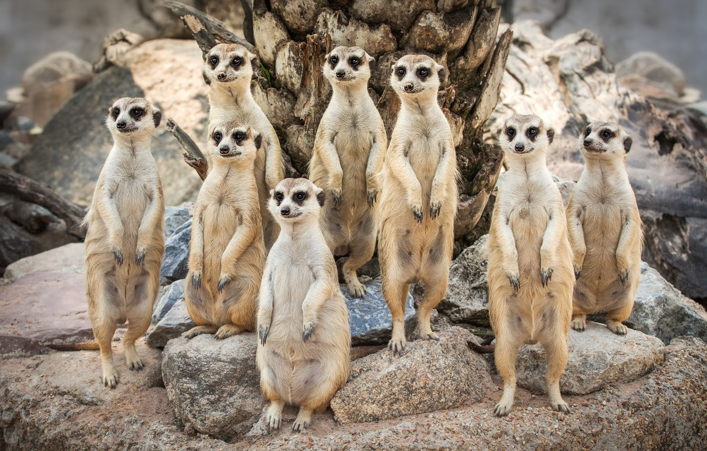 Photo wallpaper look, stones, meerkats, family, family