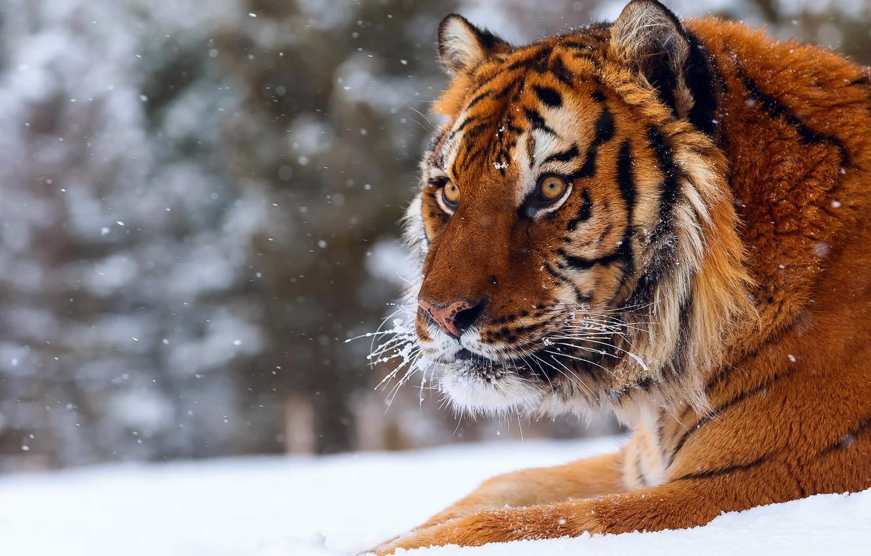Photo wallpaper winter, snow, tiger, big cat