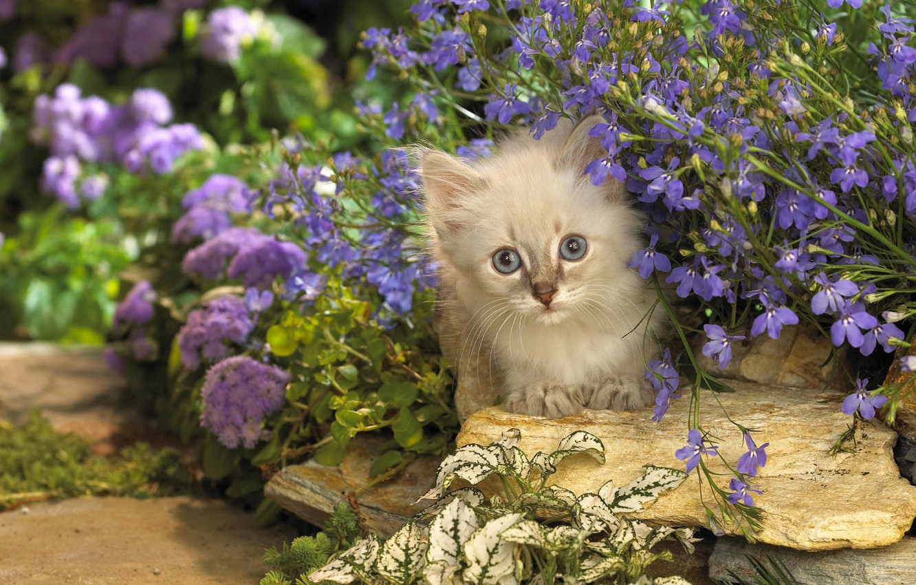 Photo wallpaper cat, cat, flowers, stones, kitty, lilac, Kote, Peeps