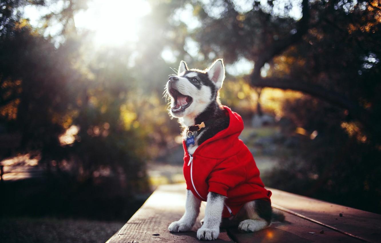 Photo wallpaper clothing, puppy, husky