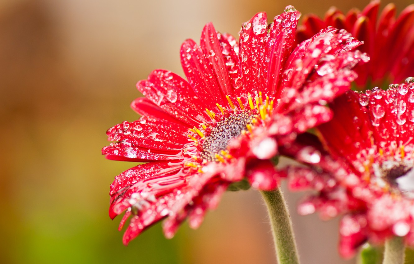 Photo wallpaper flower, drops, red, nectar, windows, beta, wcp, 8220