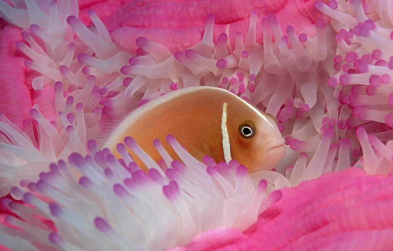 Photo wallpaper Pink, Anemone, Fish