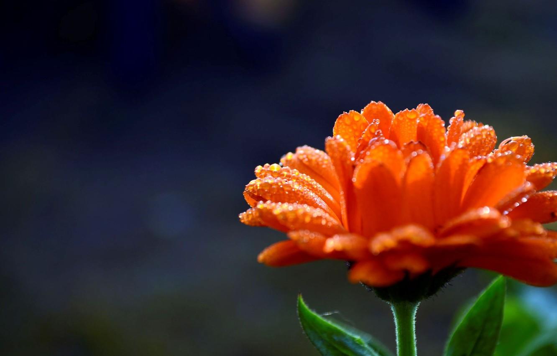 Photo wallpaper flower, water, drops, flowers, orange, Rosa, background, widescreen, Wallpaper, blur, petals, wallpaper, flower, widescreen, background, …