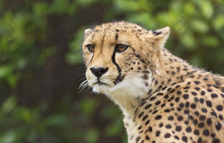 Photo wallpaper look, portrait, Cheetah, wild cat