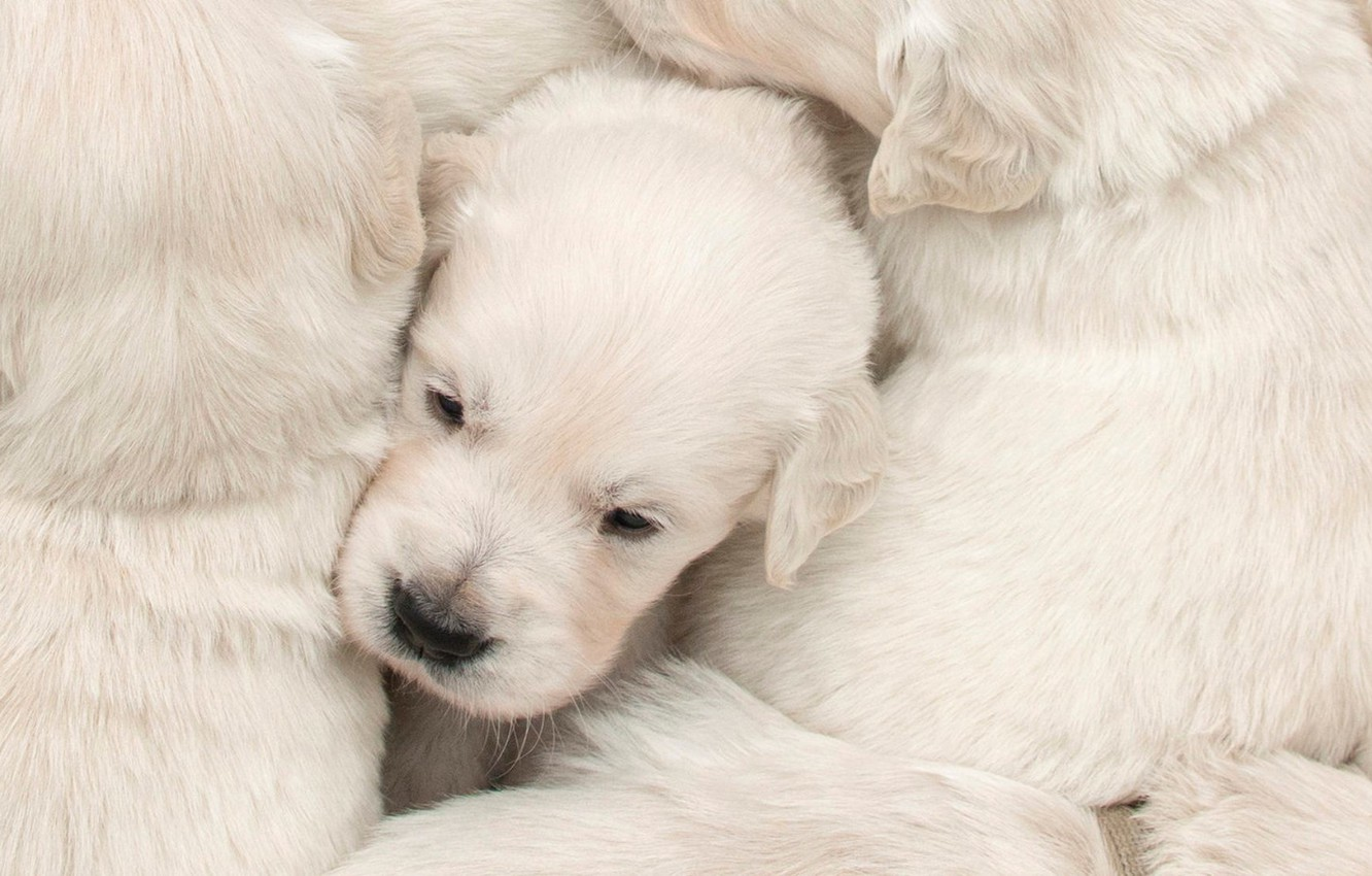 Photo wallpaper dogs, house, puppies