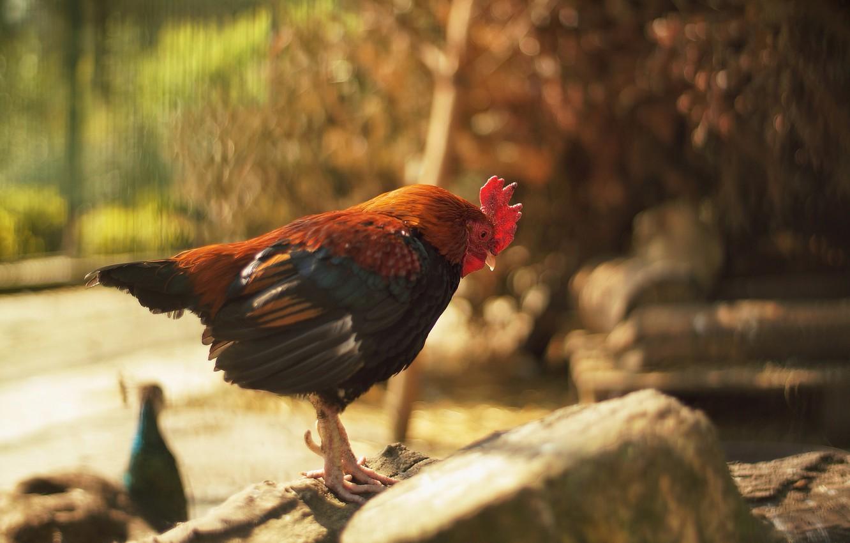 Photo wallpaper bird, feathers, cock