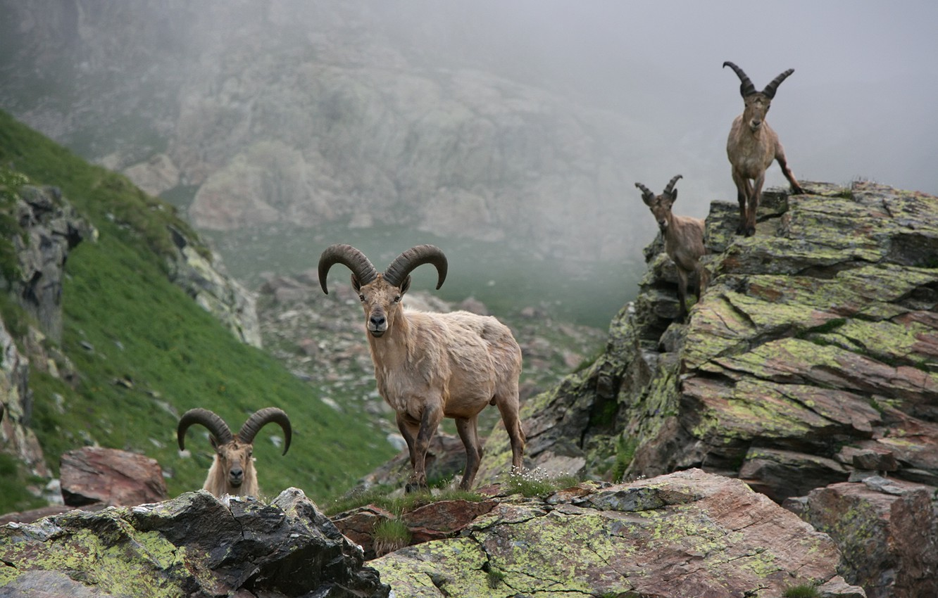 Photo wallpaper animals, stones, Mountains, horns, goats