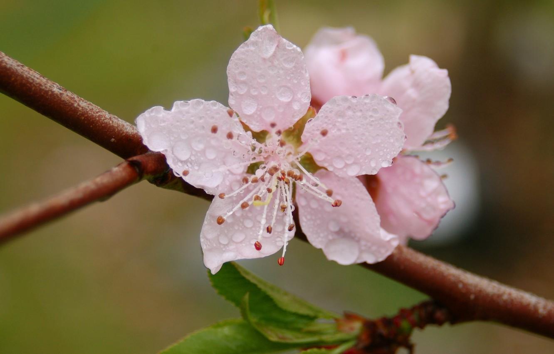 Photo wallpaper flower, drops, macro, freshness, Rosa, branch, spring, petals, pink, flowering