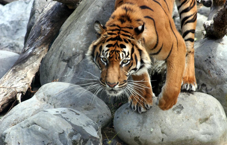 Photo wallpaper stones, animal, Tiger, log