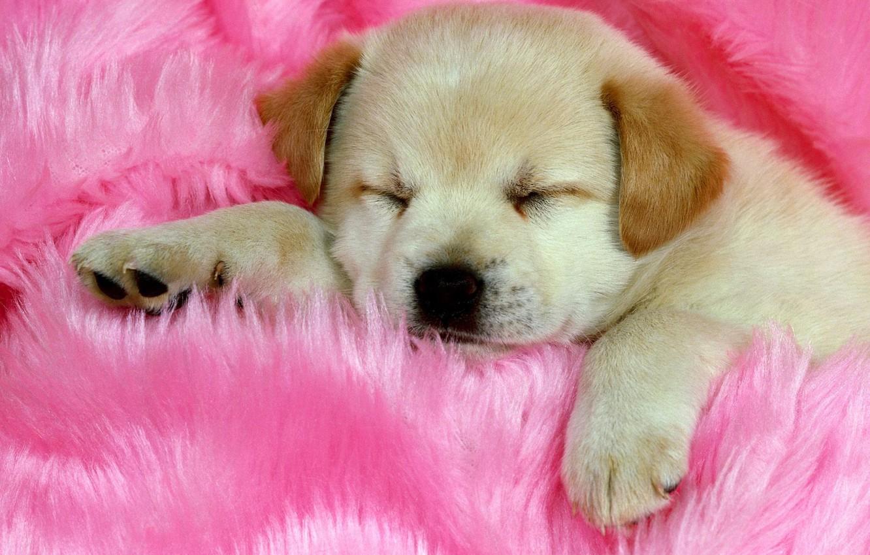 Photo wallpaper pink, sleeping, Puppy, cute