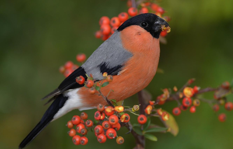 Photo wallpaper berries, bird, branch, bullfinch, English