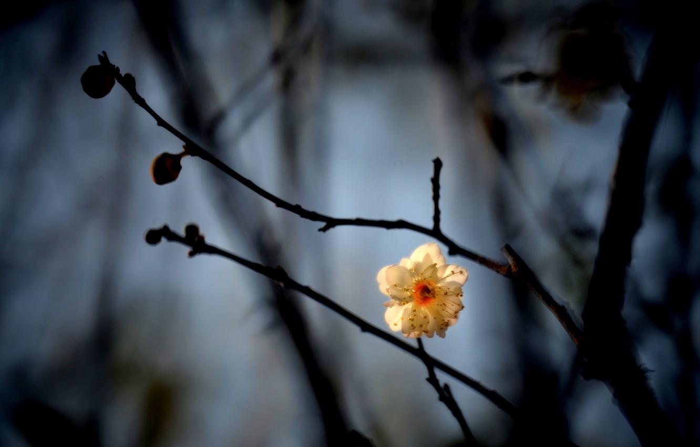 Photo wallpaper white, flower, branches, kidney, drain