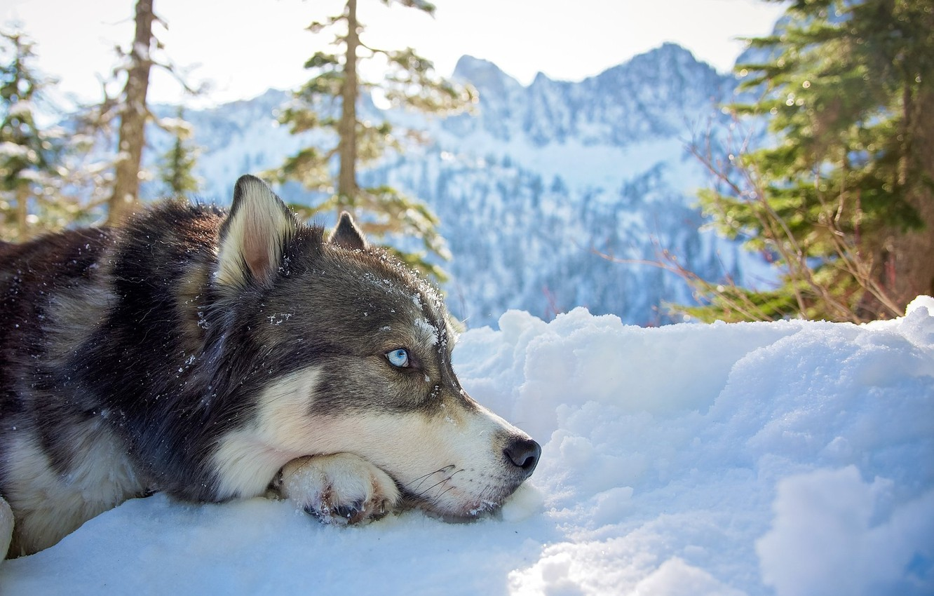 Photo wallpaper winter, look, face, snow, trees, mountains, nature, animal, dog, ate, profile, husky, dog