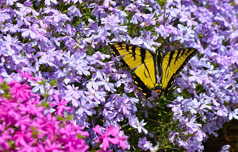 Photo wallpaper macro, flowers, butterfly, Phlox, Papilio Glaucus