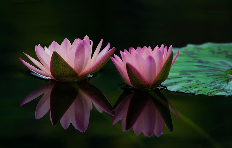 Photo wallpaper leaves, water, drops, petals, buds, flowering, pond, water lilies