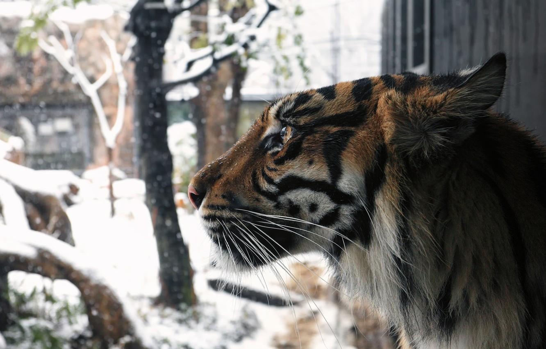Photo wallpaper winter, face, snow, tiger, predator, profile, fur, wild cat