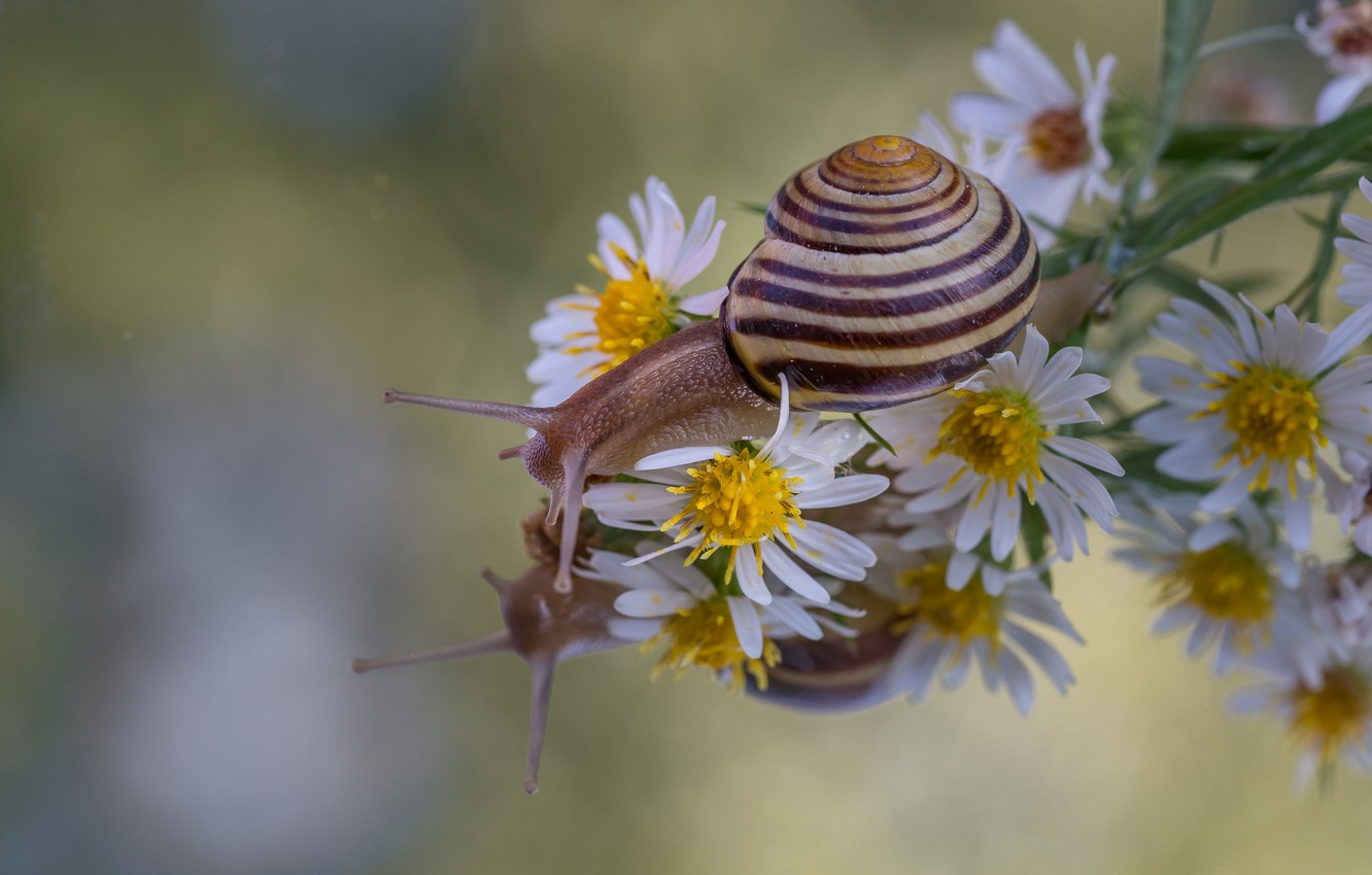 Photo wallpaper macro, flowers, reflection, snail