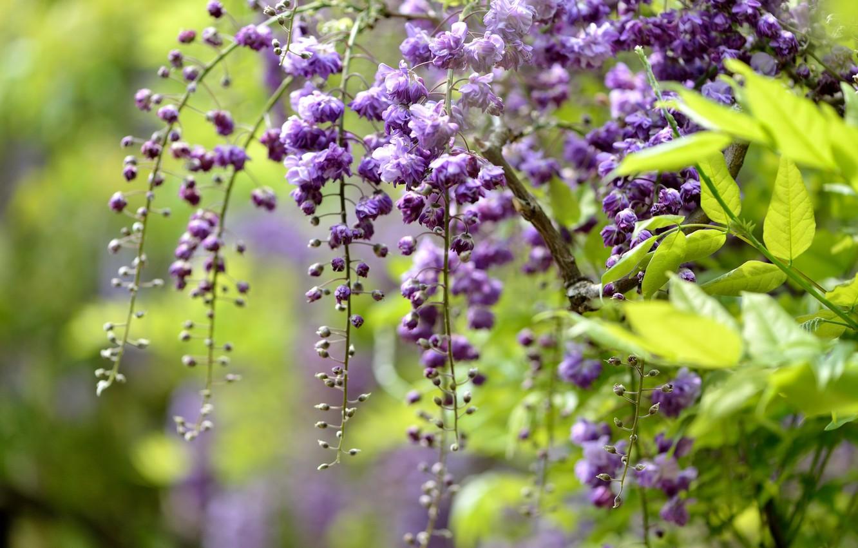 Photo wallpaper macro, branch, brush, Wisteria, Wisteria