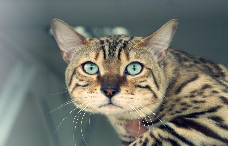 Photo wallpaper cat, eyes, mustache, look