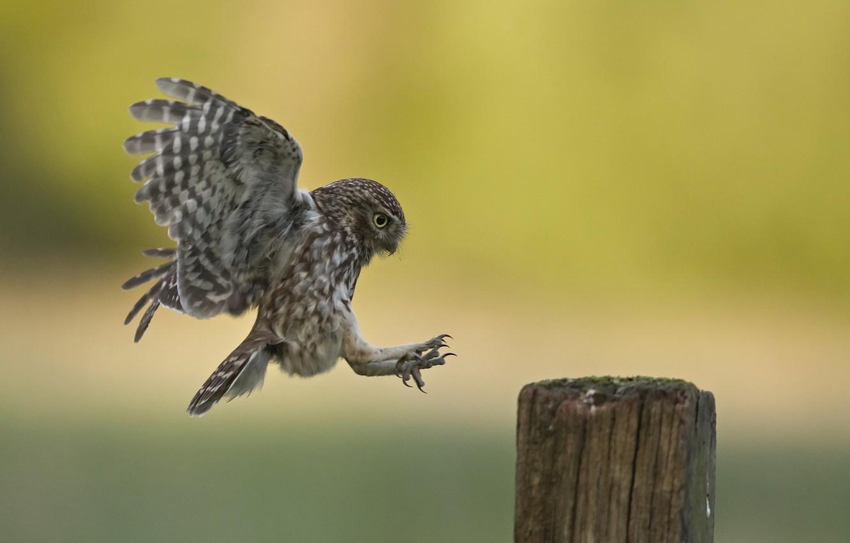 Photo wallpaper nature, bird, Little Owl