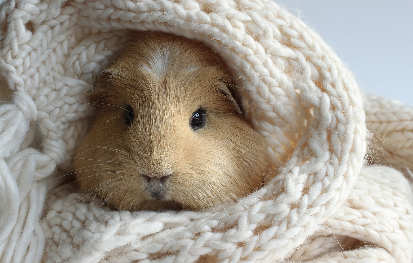 Photo wallpaper white, scarf, knitted, Guinea pig