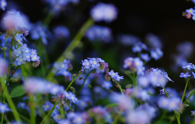 Photo wallpaper flowers, focus, field, blue, forget-me-nots