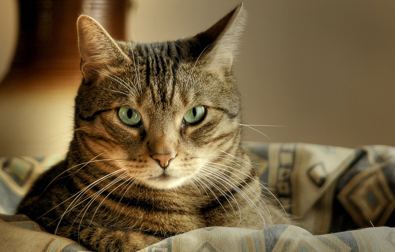 Photo wallpaper cat, cat, look, macro, basket, lies, striped, cat, green eyes, macro
