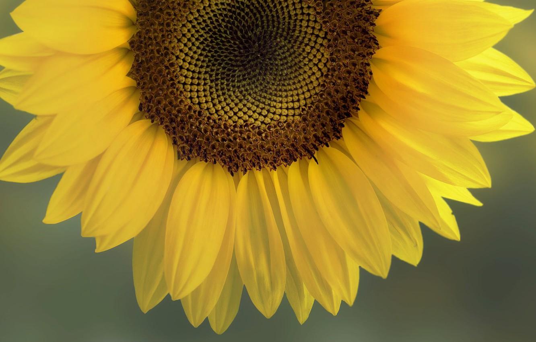 Photo wallpaper the sun, yellow, Sunflower