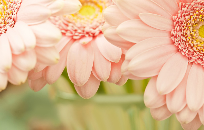 Photo wallpaper flower, flowers, nature, pink, tenderness, petals, garden, petal, flowers, flowerbed, flowering, widescreen Wallpaper, the Wallpapers, …
