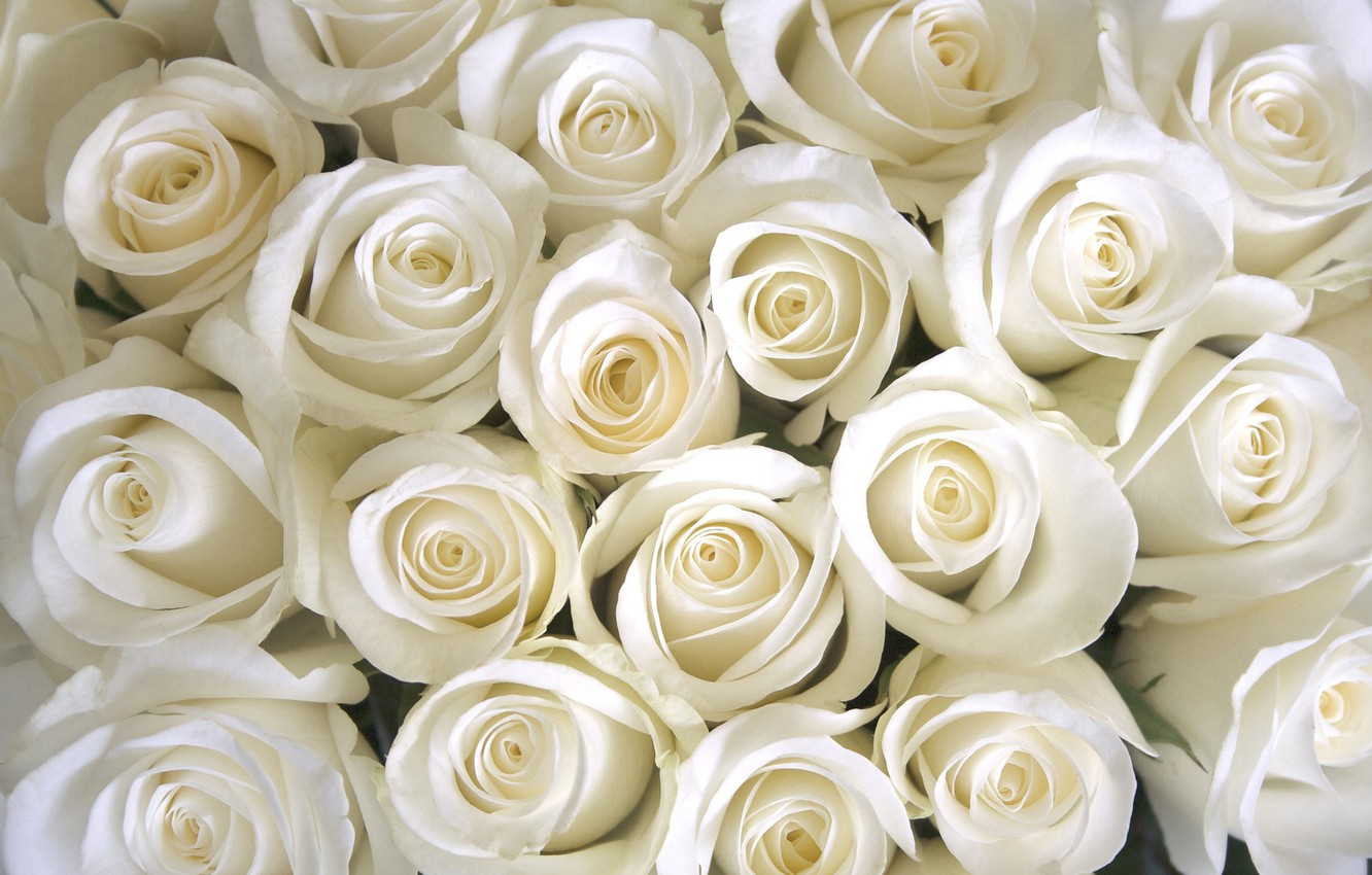Wallpaper white, roses, rose white images for desktop, section ...
