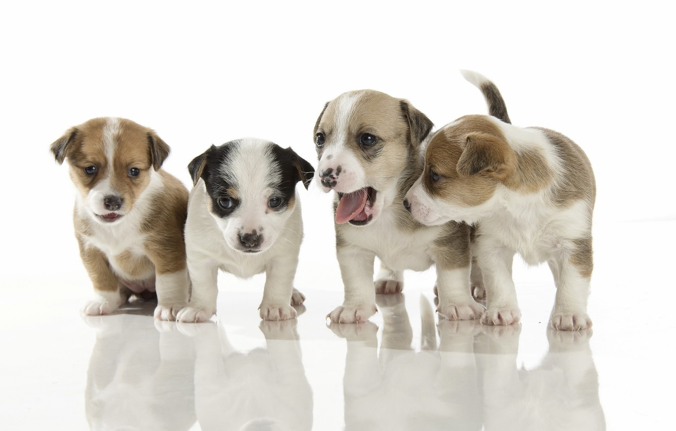 Photo wallpaper dogs, background, puppies