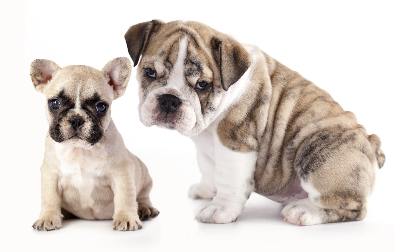 Wallpaper Dogs Puppies French Bulldog English Bulldog The Bulldogs Images For Desktop Section Sobaki Download