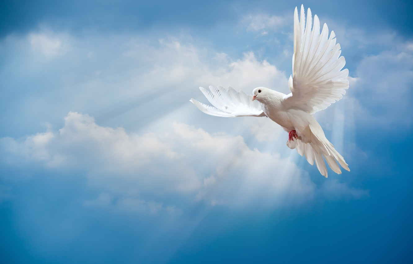 Photo wallpaper the sky, bird, the world, white, peace, the rays of the sun, sky, dove, pigeon, …