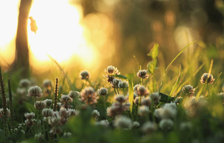 Wallpaper grass light nature plants morning clover images for