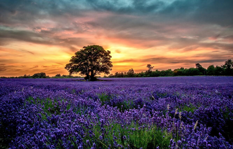 Photo wallpaper Sunset, flowers, Scenery, Lavender, Field