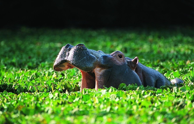 Photo wallpaper vegetation, bathing, pond, or the hippopotamus (Hippopotamus amphibius), Common Hippo