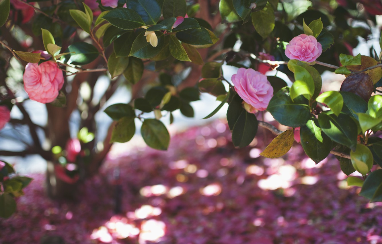 Photo wallpaper leaves, flowers, petals, pink, Camellia