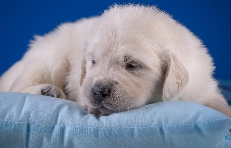 Wallpaper Baby Cute Puppy Pillow Golden Retriever Images