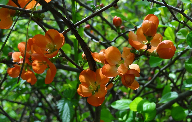 Photo wallpaper summer, flowers, shrub, Akela White