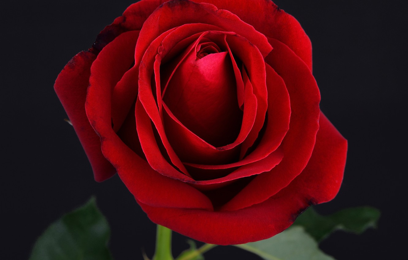 Wallpaper Rose Red Rose Black Flower Images For Desktop