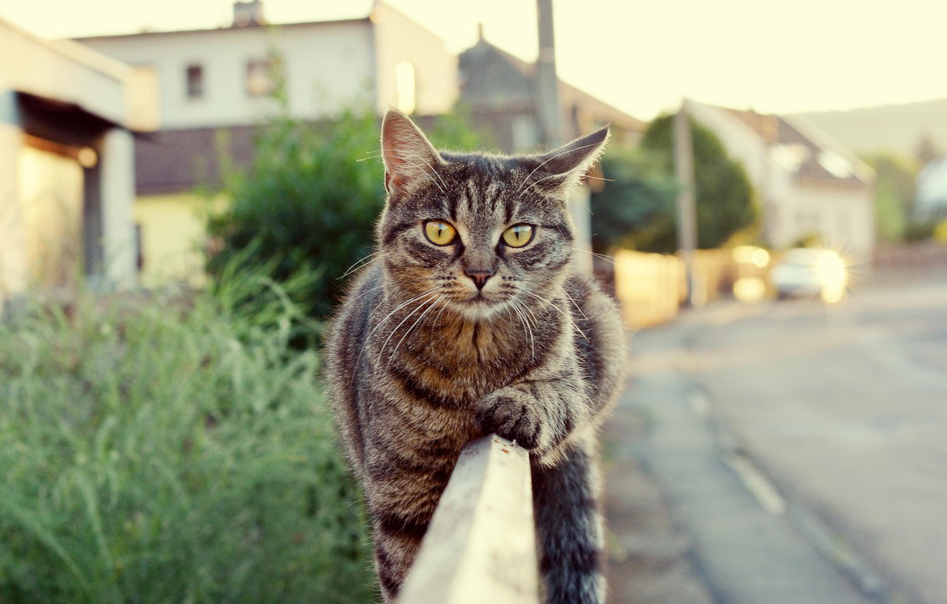 Photo wallpaper road, look, the fence, wool, Cat