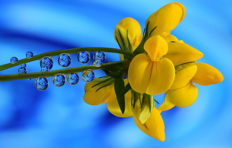 Photo wallpaper drops, macro, background, Lotus corniculatus