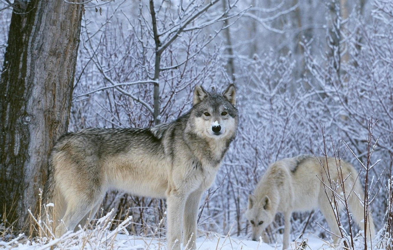 Photo wallpaper winter, look, snow, Wolf, wolves