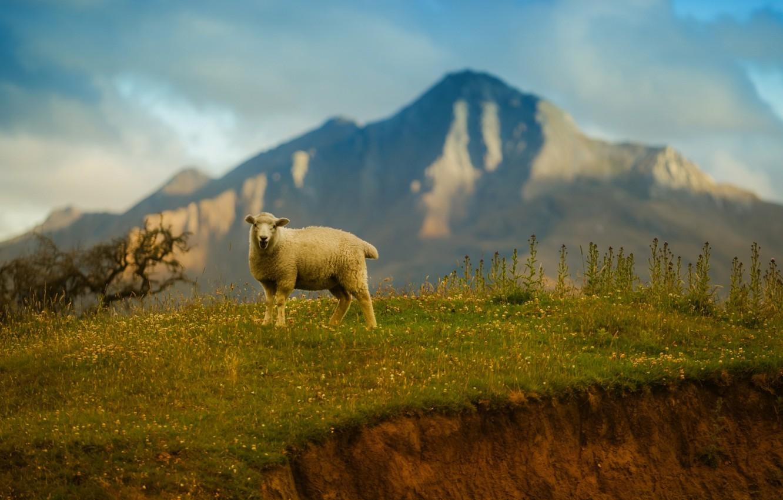 Photo wallpaper the sky, grass, mountains, sheep