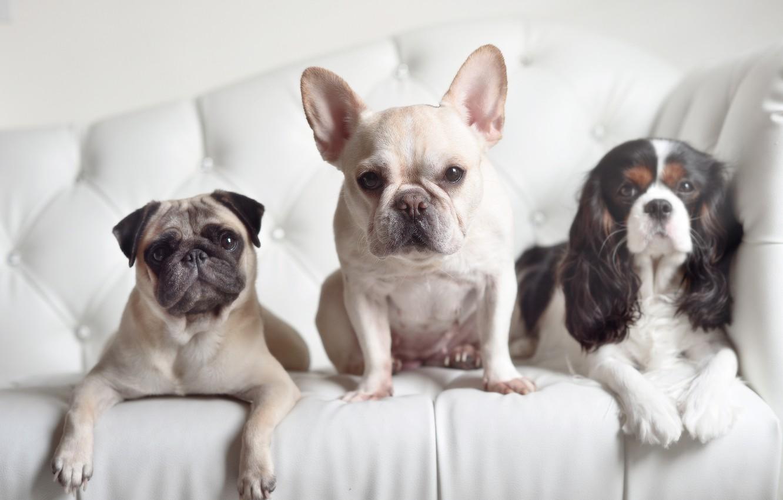 Photo wallpaper dogs, look, pug, trio, Spaniel, French bulldog, Trinity
