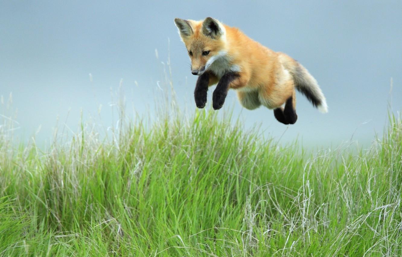 Photo wallpaper grass, jump, Fox